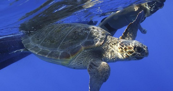 More than 500 turtles returned to sea in one month in Cape Verde